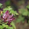 ホトトギスの花(2)