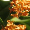 遅い金木犀の花♪