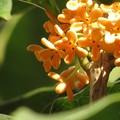 眩しく咲く金木犀の花♪
