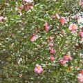 山茶花の垣♪