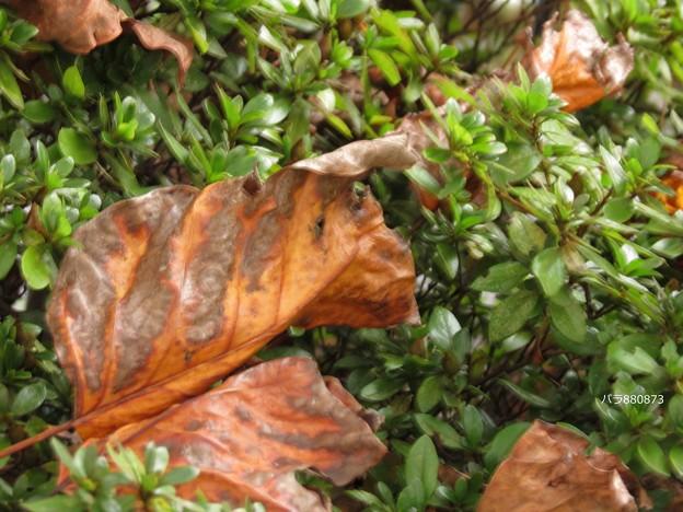 写真: ユリノキの落ち葉♪