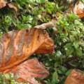 Photos: ユリノキの落ち葉♪
