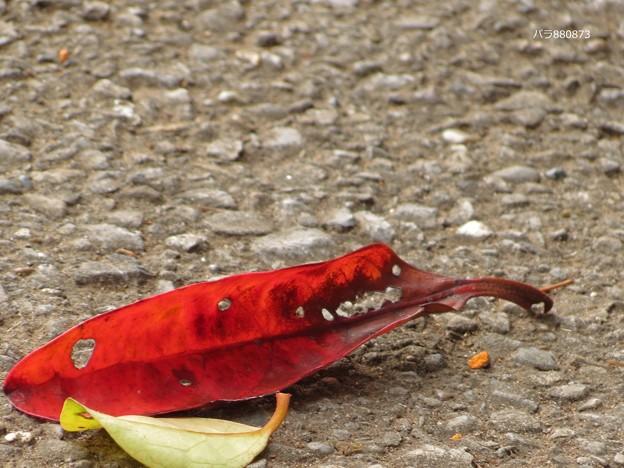 Photos: 紅葉したサンゴジュの葉っぱ♪