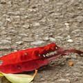 紅葉したサンゴジュの葉っぱ♪
