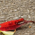 写真: 紅葉したサンゴジュの葉っぱ♪