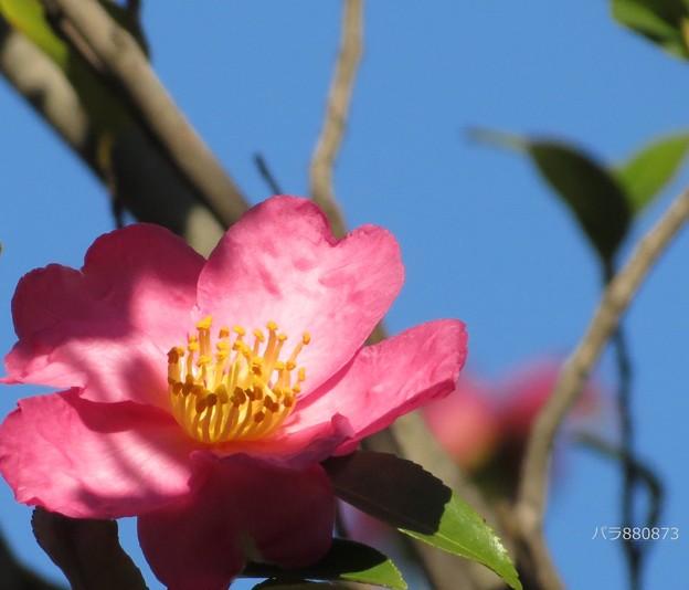 青空とハート型のサザンカの花♪