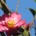 Photos: 青空とハート型のサザンカの花♪