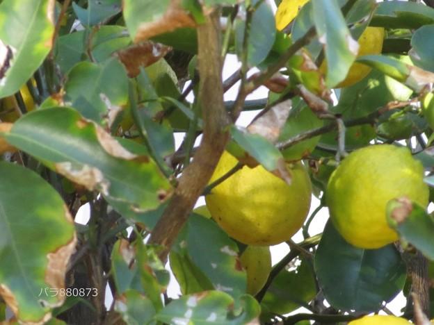 ご近所さんの柚子♪
