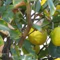 Photos: ご近所さんの柚子♪