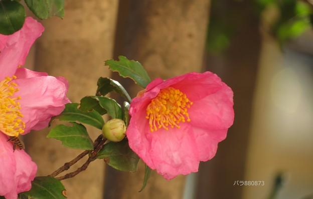 サザンカの花と蕾♪