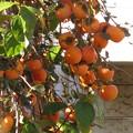 柿の実がたわわです♪