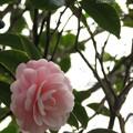 ピンク色の乙女椿♪