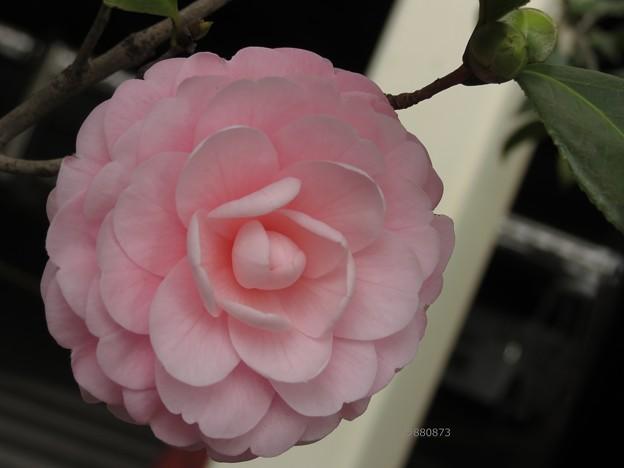 咲き始めた乙女椿♪