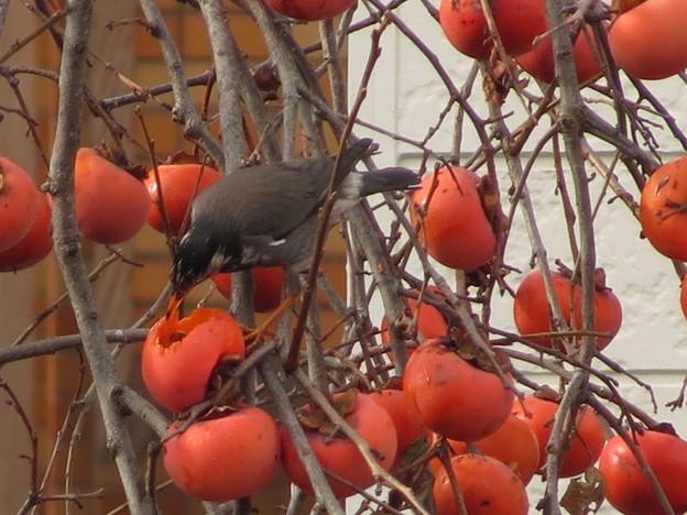 柿とムクドリ(2)