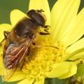 写真: 黄色の小菊にナミハナアブ♪