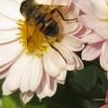 ピンク色の八重の小菊にナミハナアブ♪