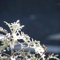 銀色の葉♪
