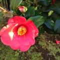 Photos: 藪椿の花♪