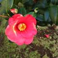 Photos: 藪椿の花(2)♪