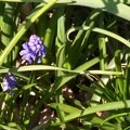 草叢から青紫の葡萄状のムスカリです♪