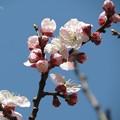 Photos: 杏の花♪
