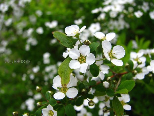 可愛らしい雪柳のお花達♪
