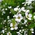 Photos: 可愛らしい雪柳のお花達♪