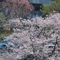 Photos: 街の片隅で小さなお花見♪