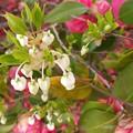 Photos: ドウダンツツジのお花が満開です♪