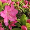 Photos: ツツジの花、蕾、葉♪