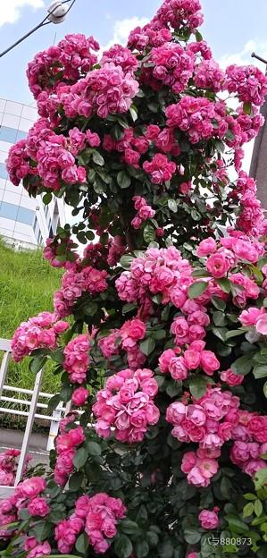樹高の大きな薔薇!