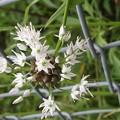 Photos: 野蒜の「むかご」と花♪