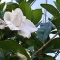 Photos: 八重のクチナシの花♪