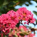 雨上がりの百日紅の花♪