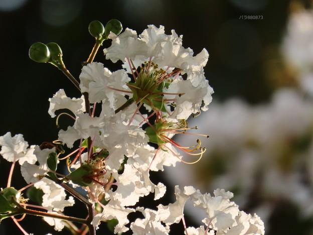 Photos: 白色の百日紅の花♪