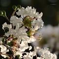 白色の百日紅の花♪