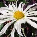 Photos: よれるキクの花♪