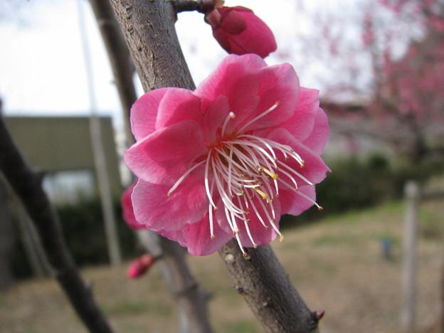 桃の花(2)♪