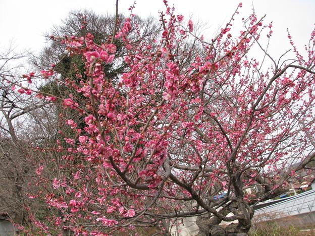 桃の木の花が咲いた様子♪