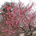 Photos: 桃の木の花が咲いた様子♪