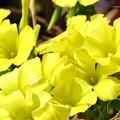 Photos: オオキバナカタバミの花