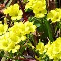 Photos: オオキバナカタバミの花と葉