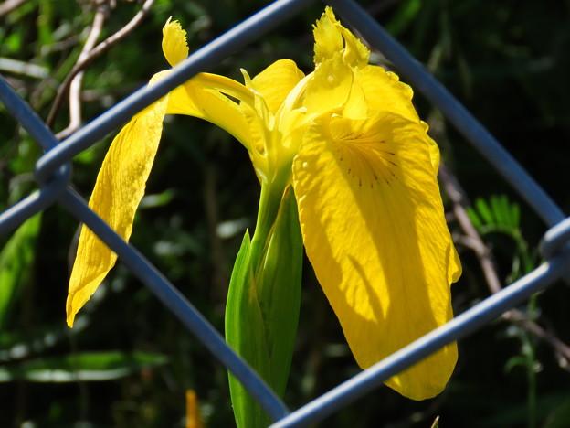 キショウブの花♪