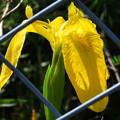 Photos: キショウブの花♪