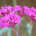 ムシトリソウの花♪