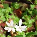 ヒメヒオウギの花を前から♪