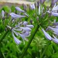 Photos: アガパンサスの花♪