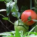 家庭菜園でトマト♪