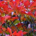 Photos: ドウダンツツジの紅葉♪