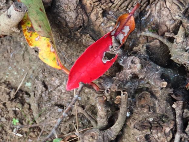 サンゴジュの虫食い紅葉♪